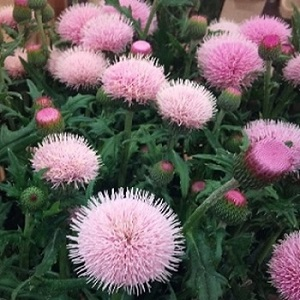 Cirsium japonicum 'Rose Beauty' / Japanese Thistle / Seeds