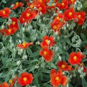 Helianthemum 'Fire Dragon' / Rock Rose / 3 Plants