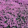 Aubrieta 'Purple Cascade' / Rock Cress / Seeds