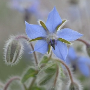 Borage / Borago officinalis / Mediterranean Herb & Wildflower / Seeds