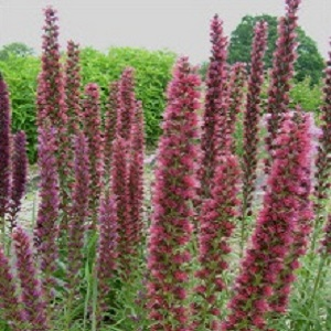 Echium russicum / Red Viper's Bugloss/ Seeds