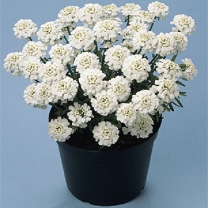 Iberis sempervirens 'Snowflake'/  Candytuft / Seeds