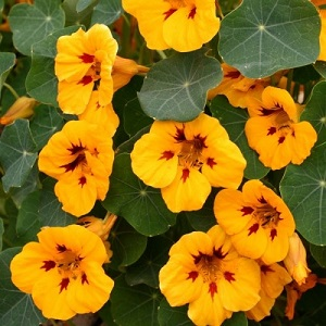 Nasturtium 'Canary Yellow' or 'Ladybird' / Tropaeolum majus  / Seeds