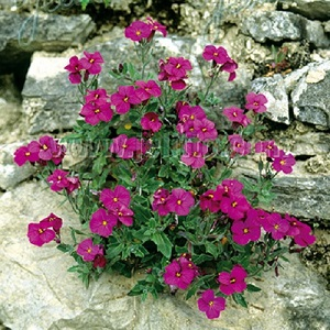 Aubrieta 'Red Cascade' / Rock Cress / Seeds