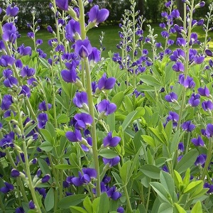 Baptisia australis / Blue False Indigo / Seeds