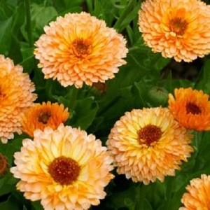 Calendula officinalis 'Pink Surprise' / English Marigold / Seeds