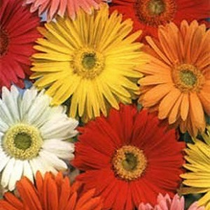 Gerbera jamesonii 'California Giant Mix' / Barberton Daisy / Seeds