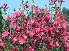 Sidalcea hybrida 'Party Girl' / Seeds