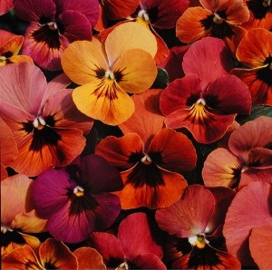 Viola hybrida 'Amber Jewel Mixed' / Pansy / Seeds