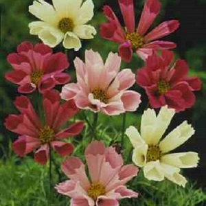 Cosmos bipinnatus 'Sea Shells Mix' / Seeds