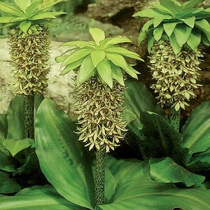 Eucomis bicolor/ Pineapple Lily / Seeds
