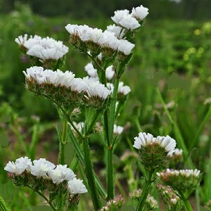Limonium sinuatum 'Iceberg' / Pure White / Statice or Sea Lavender / Seeds