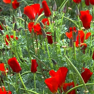 Eschscholzia californica 'Red Chief' / Californian Poppy / Seeds