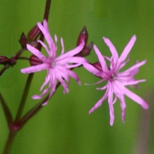 Lychnis flos-cuculi / Ragged Robin / British Wildflower / Seeds
