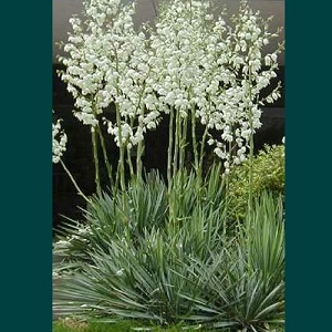 Yucca filamentosa / Needle Palm / Hardy Evergreen / Seeds