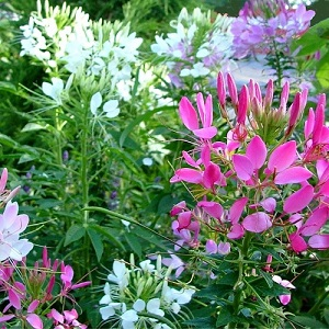 Cleome hassleriana 'Colour Fountain' / Spider Plant / Seeds