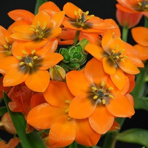 Ornithogalum dubium / Orange Star of Bethlehem / Spring Flowering Bulbs