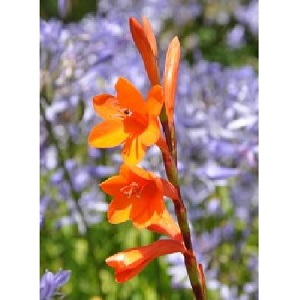 Watsonia pillansii / Beatrice Watsonia or Bugle Lily / Seeds