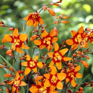 Crocosmia 'Emily McKensie' / Summer Flowering / Bulbs