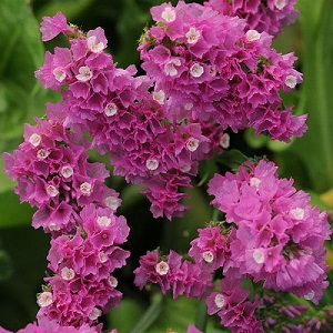 Limonium sinuatum Qis 'Rose' / Statice or Sea Lavender / Seeds