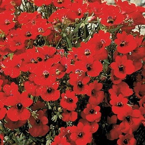 Nemesia strumosa 'Fire King' / Cape Jewels / Seeds