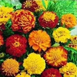 Tagetes patula 'Sparky Mix' / Dwarf French Marigold / Seeds