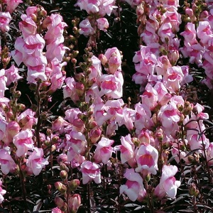 Antirrhinum majus 'Bronze Dragon' / Dwarf Snapdragon / Seeds