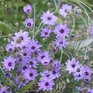 Catananche caerulea 'Armor Blue' / Cupid's Dart / Seeds