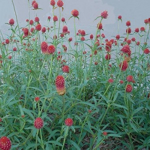 Gomphrena haageana 'Strawberry Fields' / Globe Amaranth / Seeds