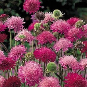 Knautia macedonica 'Melton Pastels' / Macedonian Scabious / Seeds