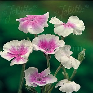 Lychnis coronaria 'Oculata' /  Angel's Blush Rose Campion / Seeds