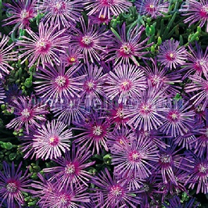 Delosperma cooperi 'Table Mountain' / Cooper's Ice Plant / Seeds