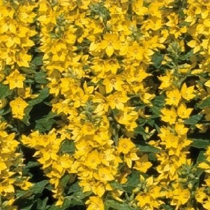 Lysimachia punctata / Dotted Loosestrife / Seeds