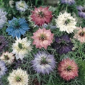 Nigella damascena 'Persian Jewels Mixed'  / Love-in-a-Mist / Seeds