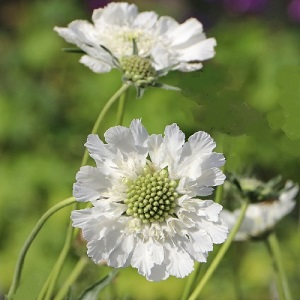 Scabious - delivers on just about everything!