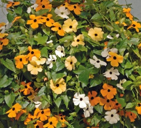 Thunbergia alata 'Mixed' / Black Eyed Susan / Climber / Seeds