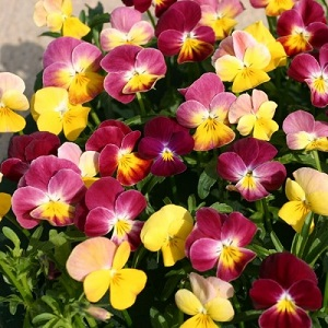 Viola hybrida 'Fire Shades' / Pansy / Seeds