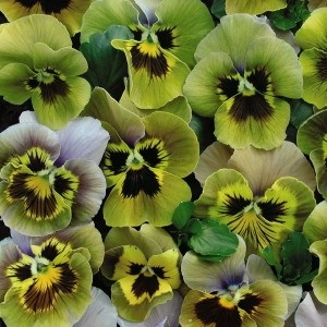 Viola x wittrockiana 'Envy' / Pansy / Seeds