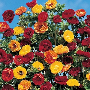 Potentilla atrosanguinea 'Fireball Mixed' / Cinquefoil / Seeds