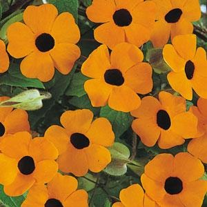 Thunbergia alata 'Orange Wonder' / Black Eyed Susan / Climber / Seeds