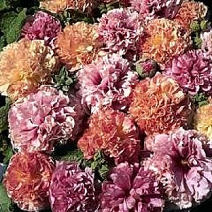 Alcea rosea 'Fruity Mix' / Hollyhock / Seeds