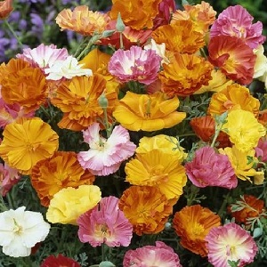 Eschscholzia californica 'Ballerina Mix' / Californian Poppy / Seeds