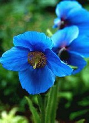 Meconopsis x 'Lingholm'/ Himalayan Blue Poppy (Fertile Blue Group) / Seeds