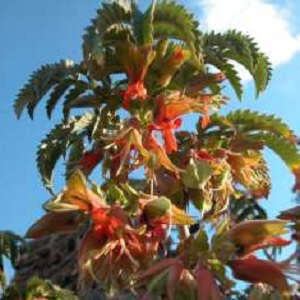 Melianthus comosus / Honey Flower / Seeds
