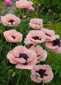 Papaver orientale princess victoria louise oriental poppy seeds mightylinksfo