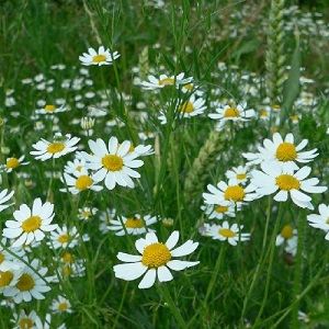 Anthemis arvensis / Corn Chamomile / British Wildflower / Seeds