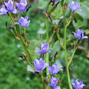 Aristea ecklonii or Blue Stars / Seeds