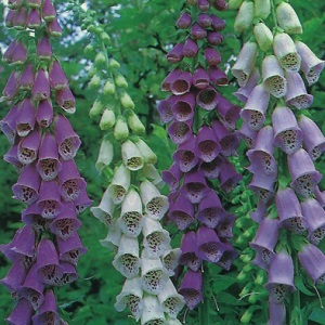 Digitalis purpurea 'Excelsior Hybrids Mix' / Foxglove / Seeds