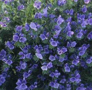 Echium plantagineum 'Bedder Blue' / Viper's Bugloss / Seeds