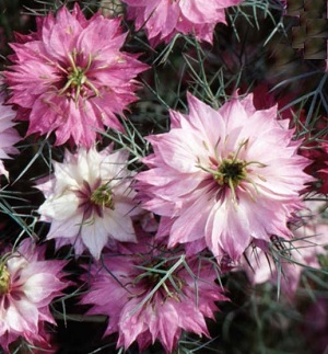 Nigella damascena 'Mulberry Rose'  / Love-in-a-Mist / Seeds